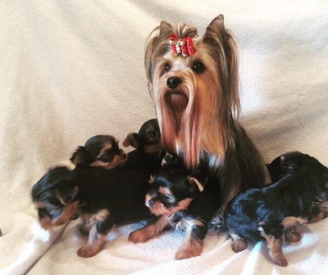 Kennel Byyorks yorkshire terrier hvalpe til salg